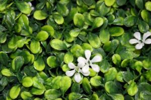 Blanca Flor cerca